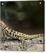 Female Desert Spiny Lizard  Acrylic Print