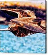 Female Frigate Bird Acrylic Print