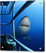 Female Great White And Underwater Acrylic Print