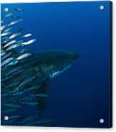 Female Great White Shark With A School Acrylic Print