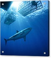 Female Great White With Cages Acrylic Print