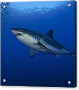 Female Great White With Remora Acrylic Print