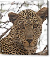 Female Leopard Close-up Acrylic Print
