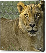 Female Lion Acrylic Print