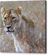 Female Lion Portrait Acrylic Print