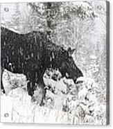 Female Moose In Snowy Forest, Gaspesie Acrylic Print