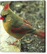 Female Northern Cardinal Acrylic Print