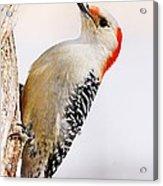 Female Red-bellied Woodpecker 2 Acrylic Print