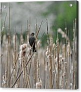 Female Redwinged Blackbird Acrylic Print
