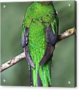 Female Resplendent Quetzal - Dp Acrylic Print