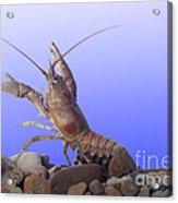 Female Rusty Crayfish Acrylic Print
