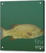 Female Smallmouth Bass Acrylic Print