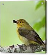 Female Summer Tanager Acrylic Print