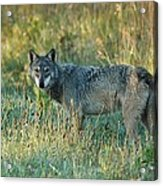 Femle Gray Wolf In The Morning Light Acrylic Print