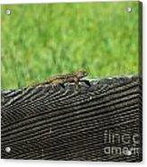 Fence Lizard Acrylic Print