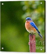 Fence Post Bluebird Acrylic Print