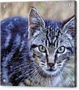 Feral Kitten Acrylic Print