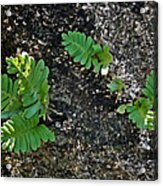 Fern And Coquina Acrylic Print