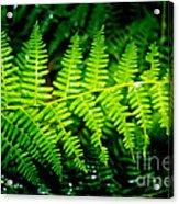 Fern II Acrylic Print