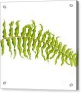 Fern Leaf Acrylic Print by Atiketta Sangasaeng