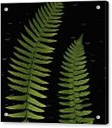 Fern Leaves With Water Droplets Acrylic Print