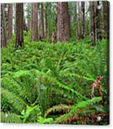 Ferns And Redwoods Acrylic Print
