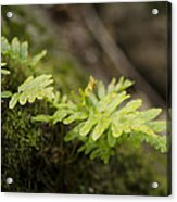 Ferns In Forest Acrylic Print