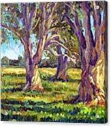 Ficus Trees Acrylic Print