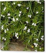 Field Madder (sherardia Arvensis) Flowers Acrylic Print