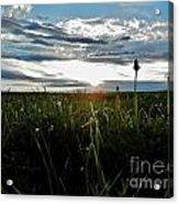 Field Of Alfalfa 5 Acrylic Print
