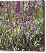 Field Of Bearded Iris Acrylic Print