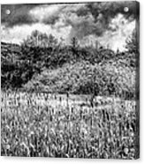 Field Of Cattails II Acrylic Print