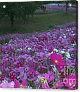 Field Of Flowers Along The Highway  Acrylic Print