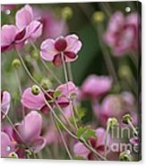 Field Of Japanese Anemones Acrylic Print