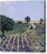 Field Of Lavender. Sault. Vaucluse Acrylic Print