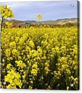 Field Of Mustard Flowers Acrylic Print