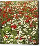Field Of Poppies And Daisies In Limagne  Auvergne. France Acrylic Print