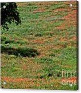 Field Of Poppies. Acrylic Print