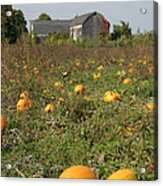 Field Of Pumpkins Acrylic Print