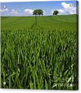 Field Of Wheat. Auvergne. France. Europe Acrylic Print