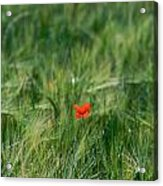 Field Of Wheat With A Solitary Poppy. Acrylic Print