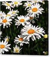 Field Of White Dasies Acrylic Print