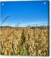 Fields Of Gold Acrylic Print by Dan Crosby
