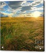 Fields Of Gold Acrylic Print by John Kelly