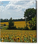 Fields Of Sunflowers Acrylic Print