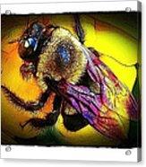 Fierce Bumblebee Acrylic Print