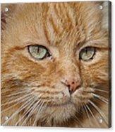 Fierce Warrior Kitty Acrylic Print