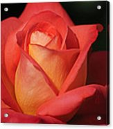 Fiery Color Rose Acrylic Print