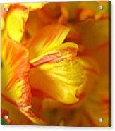 Fiery Tulip Acrylic Print