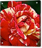 Fiesta Rose Acrylic Print